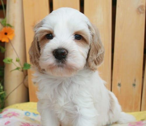 Labradoodle puppies for sale |Breeder Oregon | Pacific Coast