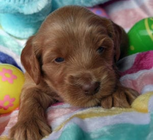 medium labradoodle, labradoodle puppies for sale, labradoodle oregon, labradoodles, medium labradoodle puppies for sale