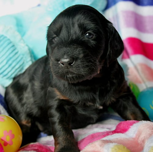 medium labradoodle, labradoodle puppies for sale, labradoodle oregon, labradoodles, medium labradoodle puppies for sale