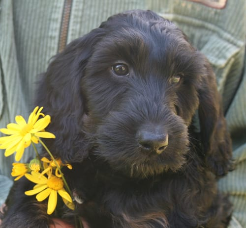 medium labradoodle, labradoodle for sale, available labradoodles, available labradoodle puppies, labradoodle puppies for sale labradoodle