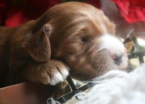 labradoodle, miniature labradoodle puppy, mini labradoodles, labradoodle puppy for sale