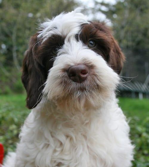 labradoodle, labradoodle puppies, labradoodle puppies for sale, medium labradoodle puppies, medium labradoodle