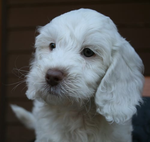 labradoodle, labradoodle puppies, labradoodle puppies for sale, labradoodle oregon, medium labradoodle puppies for sale, labradoodle puppies for sale
