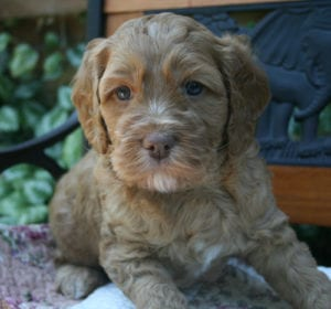 labradoodle puppies for sale oregon, labradoodle puppies for sale, labradoodle puppy, oregon labradoodle, labradoodle, medium labradoodle