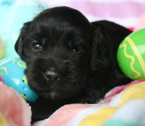 labradoodle, labradoodle oregon, labradoodle puppies for sale, medium labradoodle, oregon labradoodles