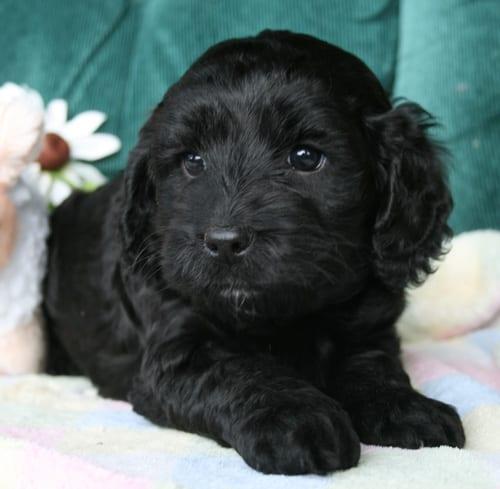 medium labradoodle puppy, labradoodle puppy, labradoodle puppies for sale, oregon labradoodle