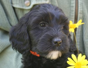 labradoodle puppies for sale, available labradoodle puppies, available labradoodle, miniature labradoodle puppies, medium labradoodle puppies