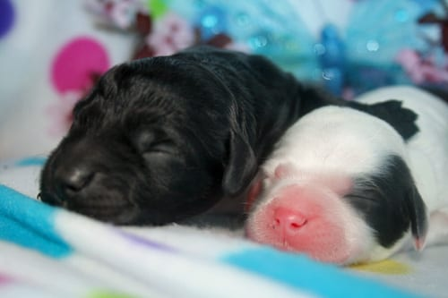 Parti male and black male labradoodle puppies from Peggy's litter.