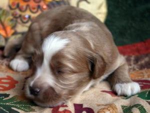labradoodle puppies for sale, labradoodle, labradoodle puppies oregon, medium labradoodle