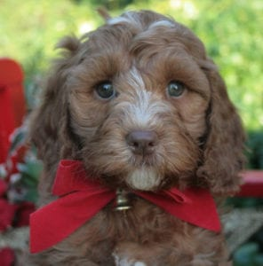 medium labradoodle, labradoodle puppies for sale, labradoodle oregon, labradoodle for sale