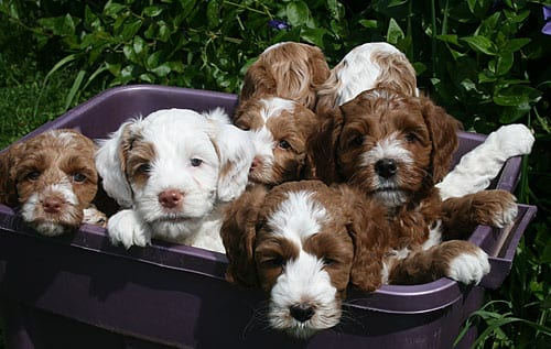 miniature labradoodle, mini labradoodle, labradoodle puppies for sale, miniature labradoodle puppies for sale, puppies oregon, labradoodle oregon