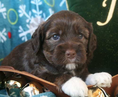 Chocolate female miniature labradoodle puppy with white boots.