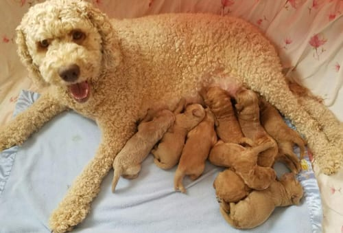 standard labradoodles, labradoodle, labradoodle puppies for sale, labradoodle puppies Oregon